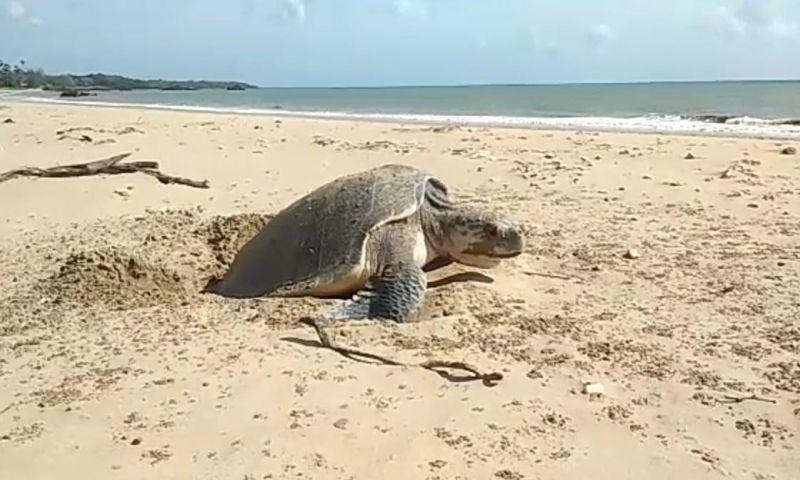 Penyu Lekang Bertelur Siang Hari di Pantai Sosadale
