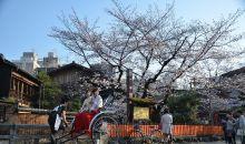 Sakura di Kyoto Mekar Lebih Awal Sepanjang 12 Abad Terakhir