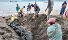 KKP Selidiki Penyebab Paus Pembunuh yang Terdampar di Banyuwangi