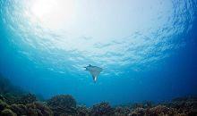 Populasi Ikan Hiu dan Pari di Dunia Turun Drastis
